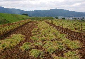 写真:稲刈り